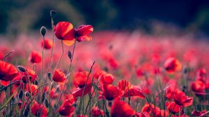 June - Poppies - Slider Original